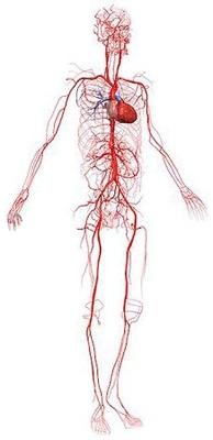 артерии в теле человека